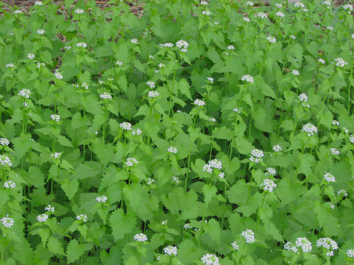 "A Message for All Ages: ""Garlic Mustard"""