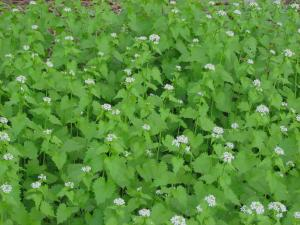 Garlic Mustard Plants in Full Bloom