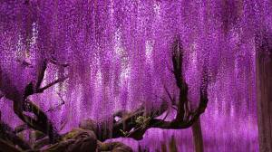 Oldest Living Wisteria Tree; Ashikaga Flower Park, Japan